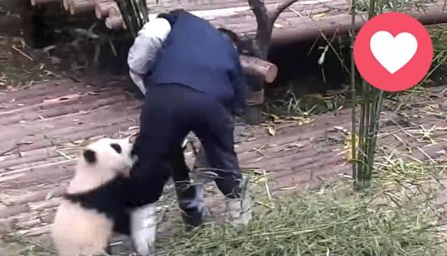 Panda bakıcısı olmak da zor iş!