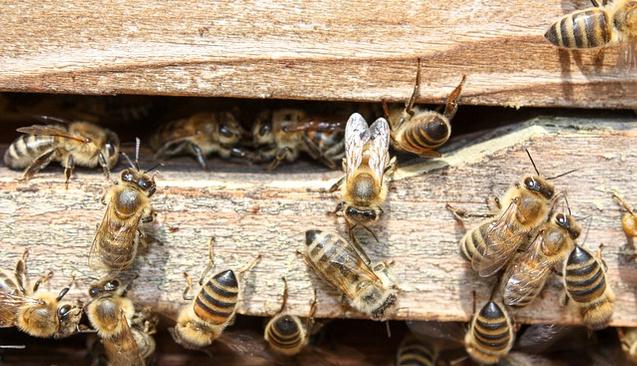 Çalışmayan Arılara Kızıp İnovasyon Yaptı