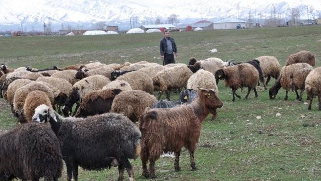 Muş'ta çobanlık için vaat edilen maaş şaşırtıyor!