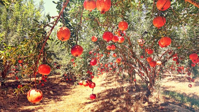 Meyve bahçesi kurmak isteyenlere devletten destek